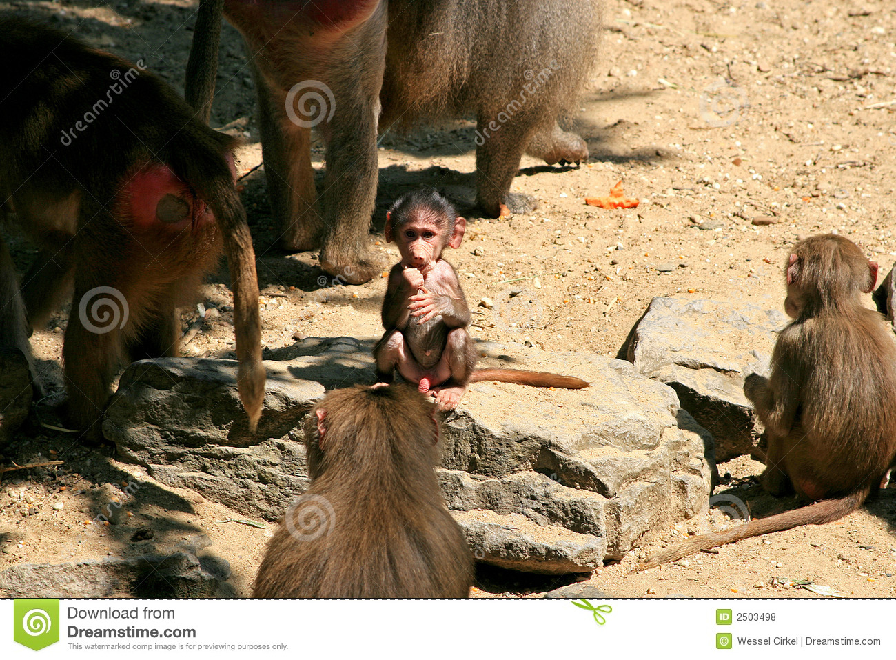 A baboon family and baby