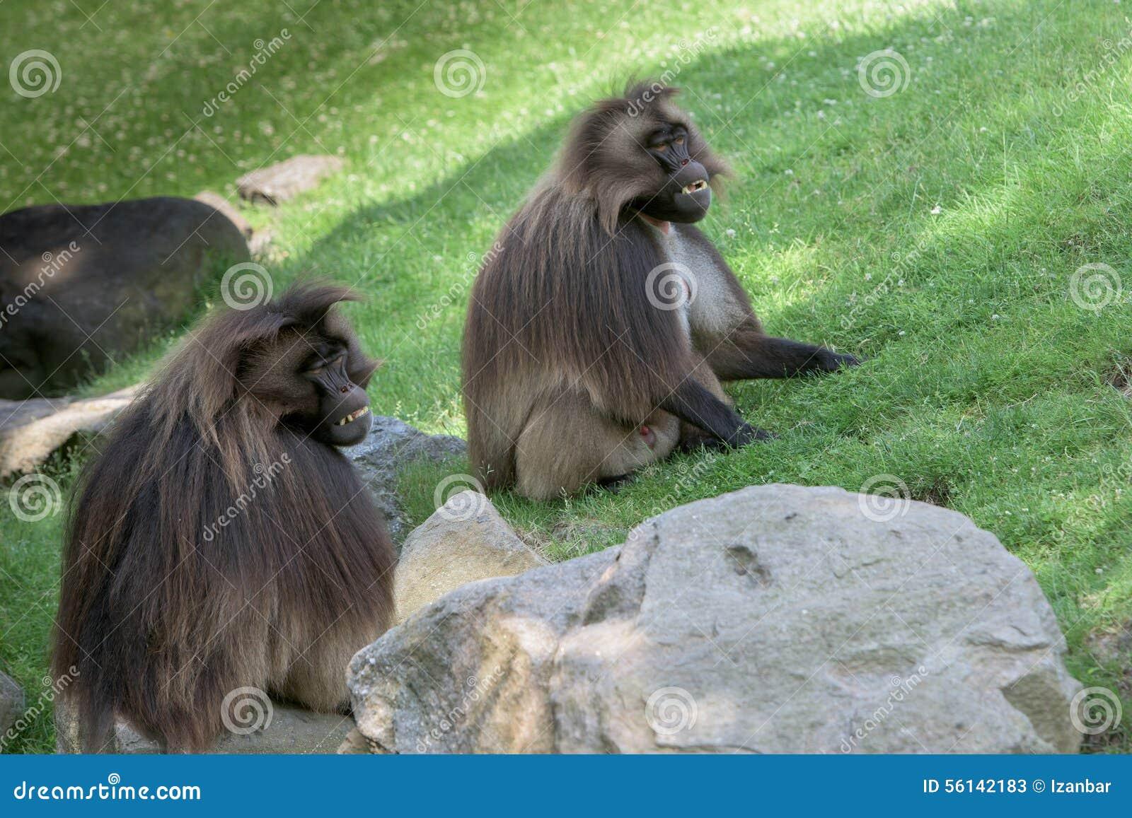 Baboon Gelada πορτρέτο πίθηκων πιθήκων