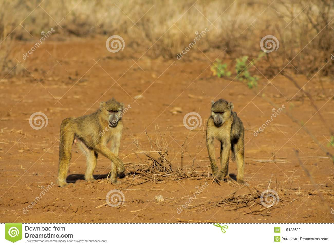Baboon monkey in Africa wild nature