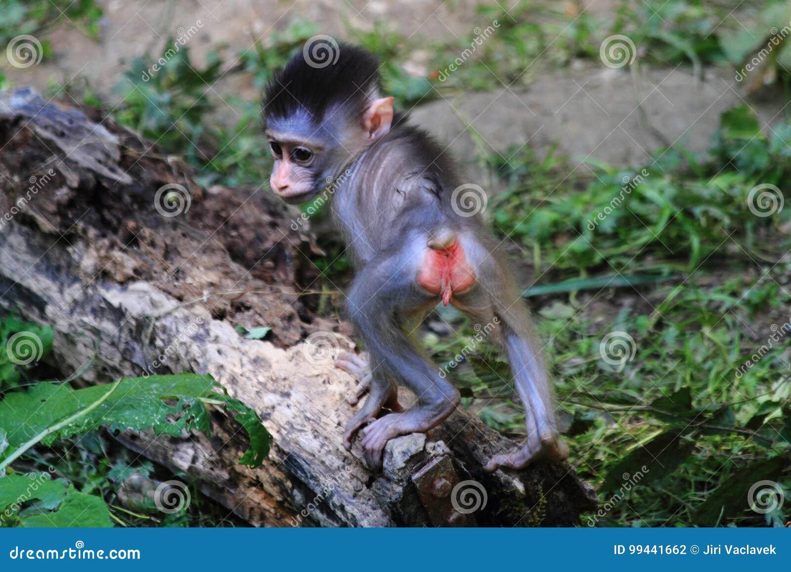 wild baboon monkey