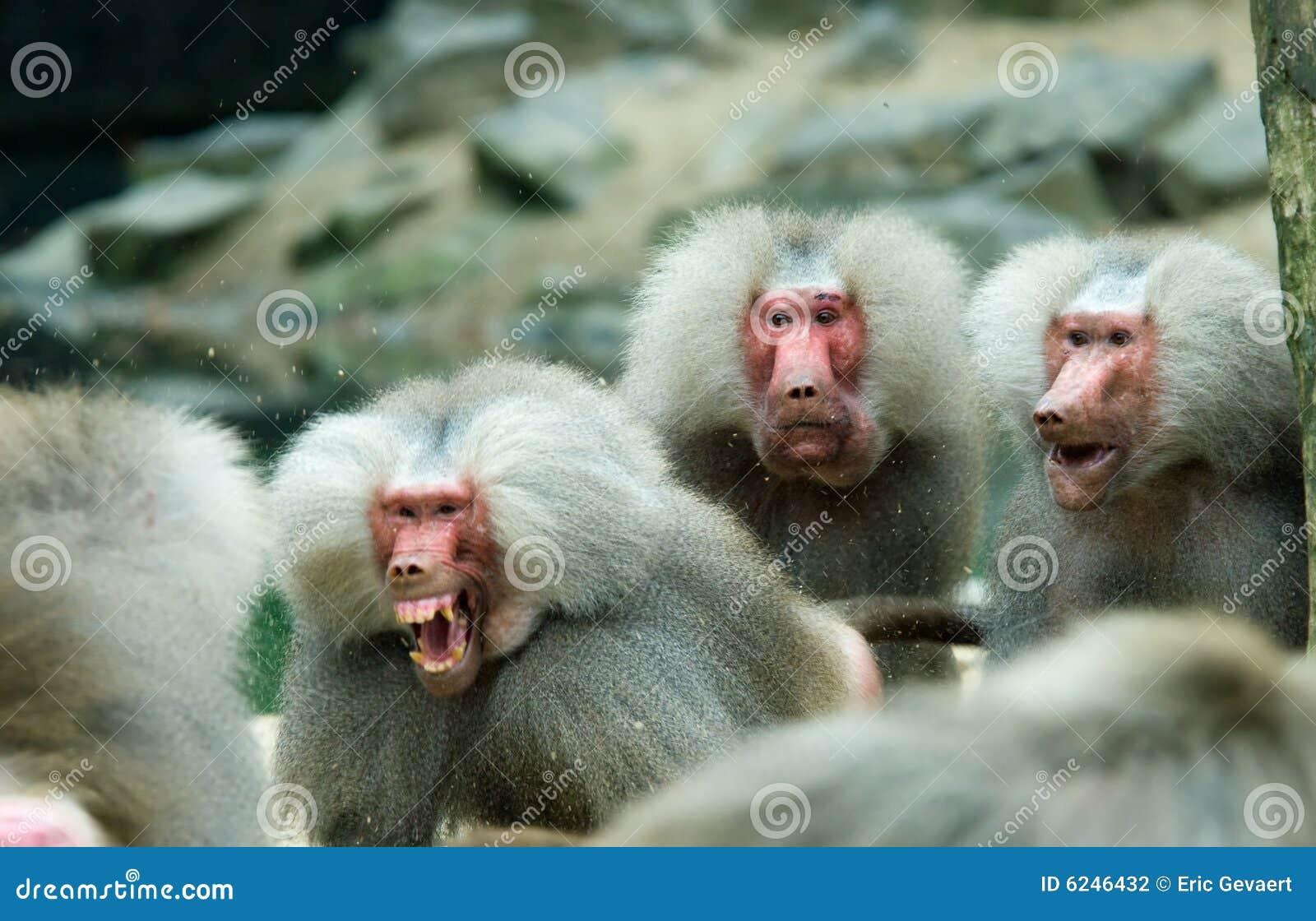 Baboon monkey in a fight