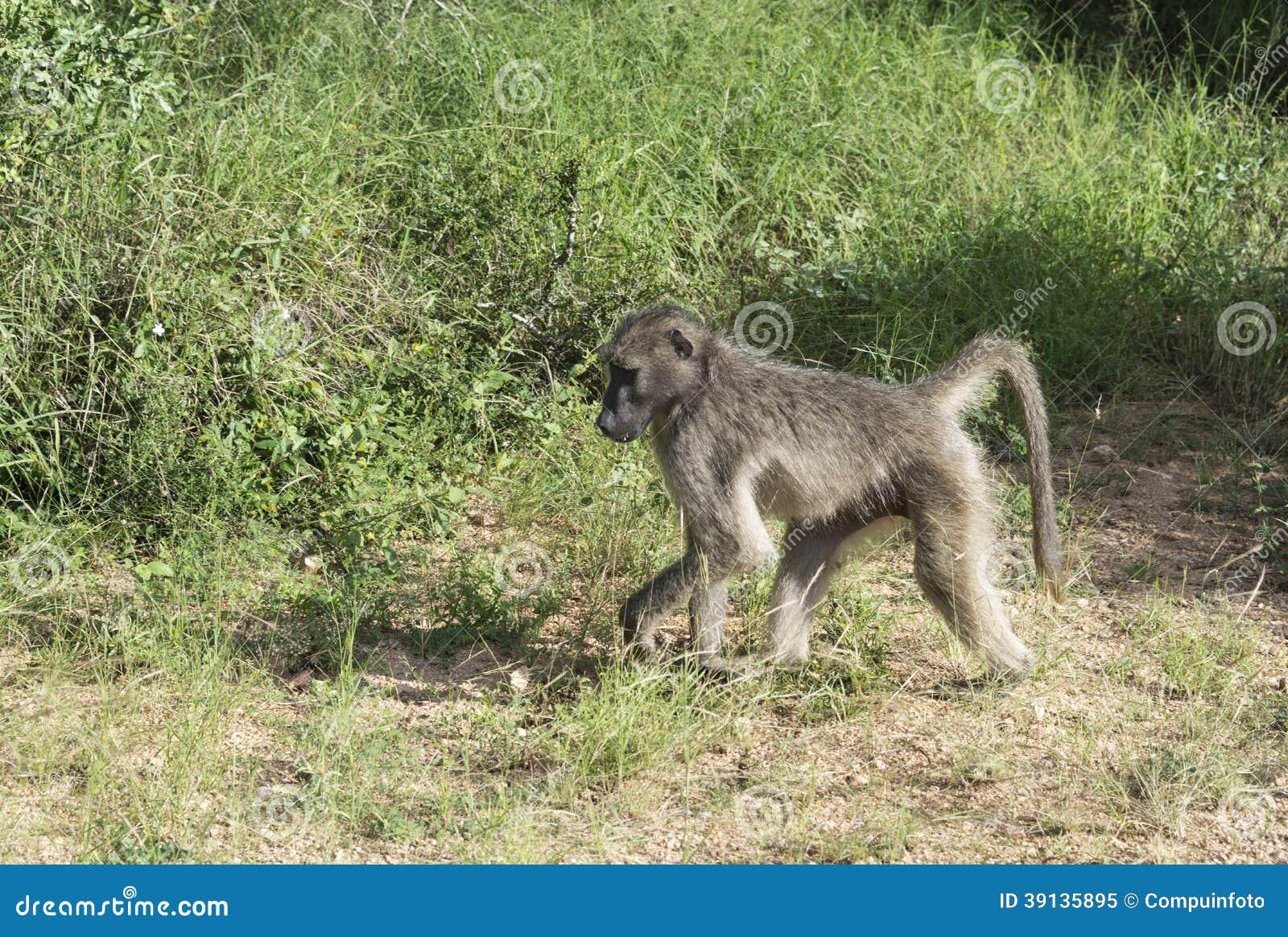 Baboon monkey in kruger park