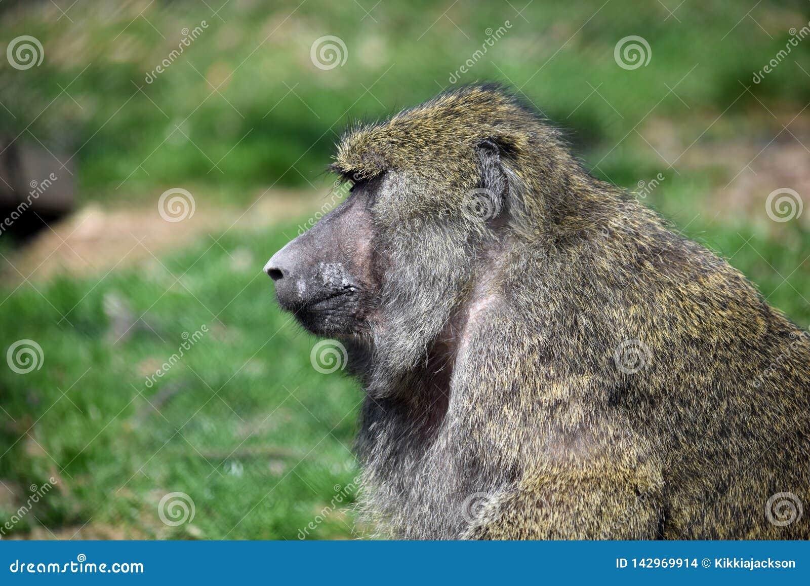 Baboon Monkey Papio Anubis Head Closeup Portrait