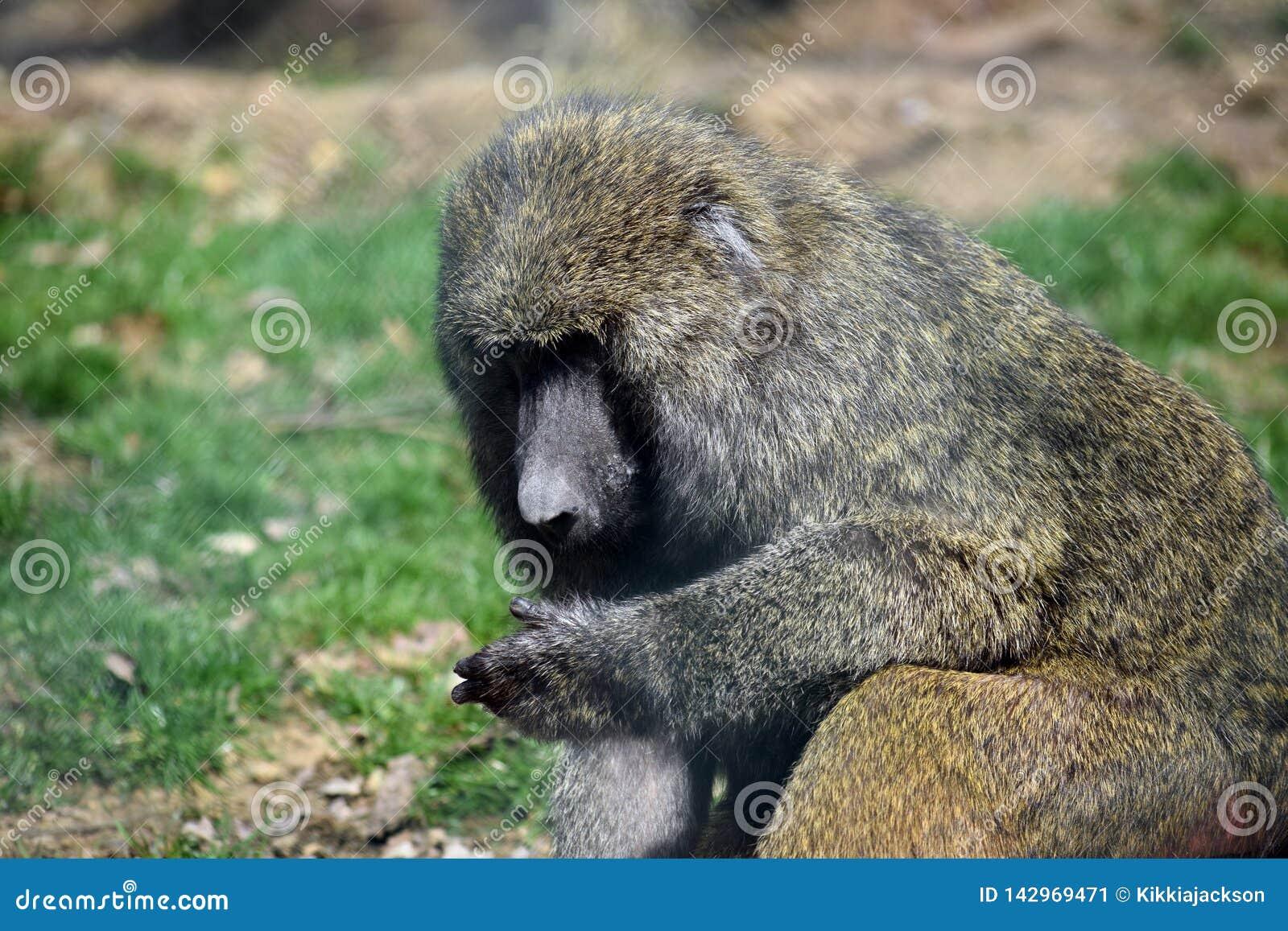 Baboon Monkey Papio Anubis Head Closeup Portrait Sitting