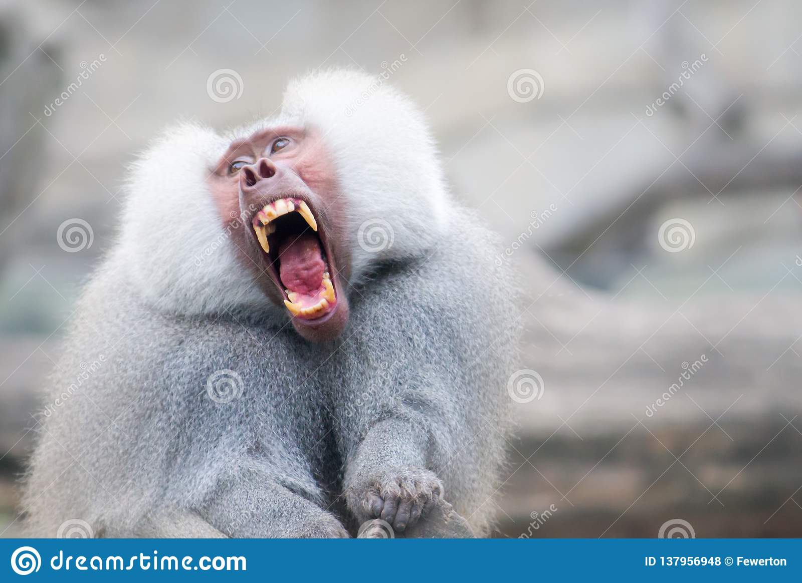 Baboon monkey Pavian, genus Papio screaming out loud with large open mouth and showing pronounced sharp teeth