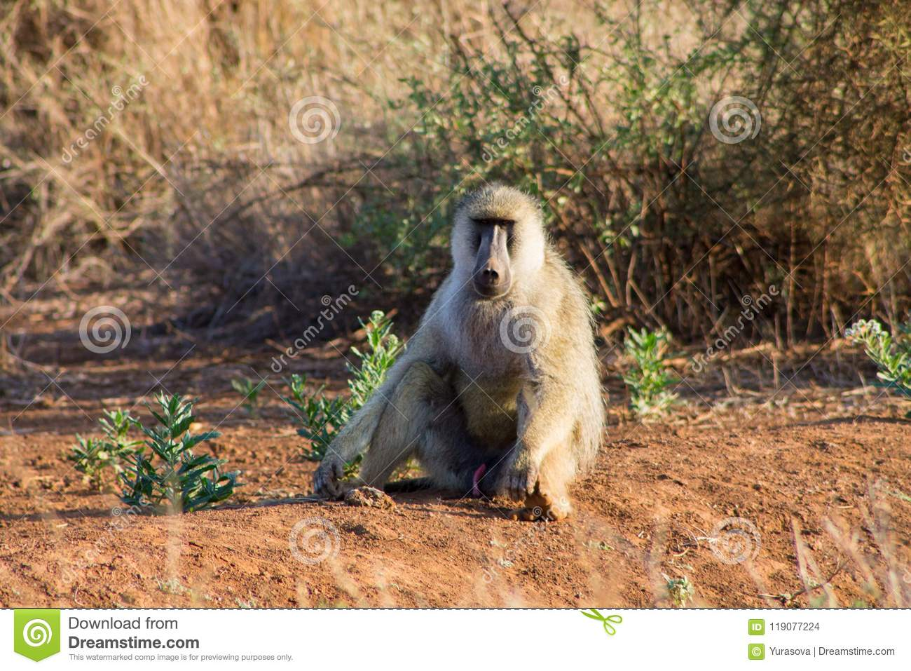 Baboon monkey sit on the ground in Africa wildlife