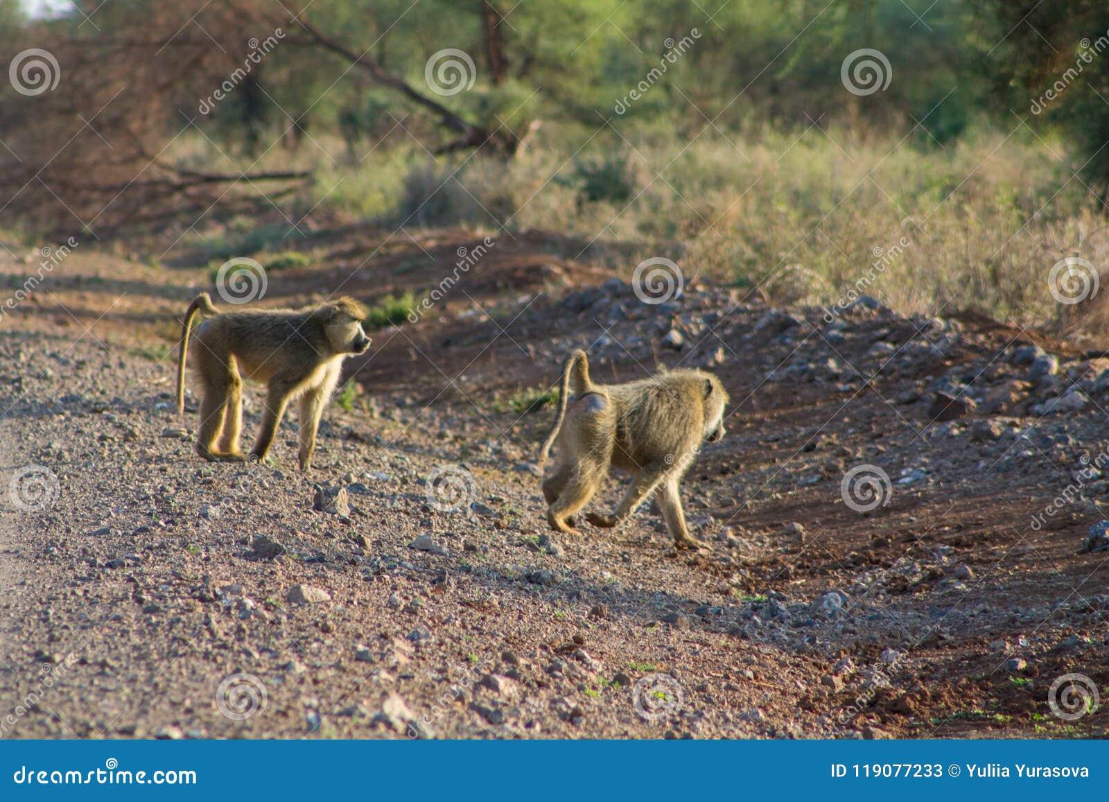 Baboon monkey walk on road in Africa wildlife