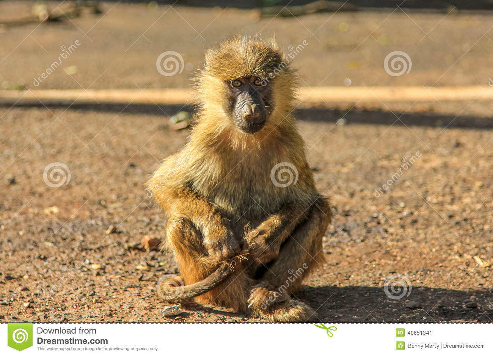 Baboon sitting
