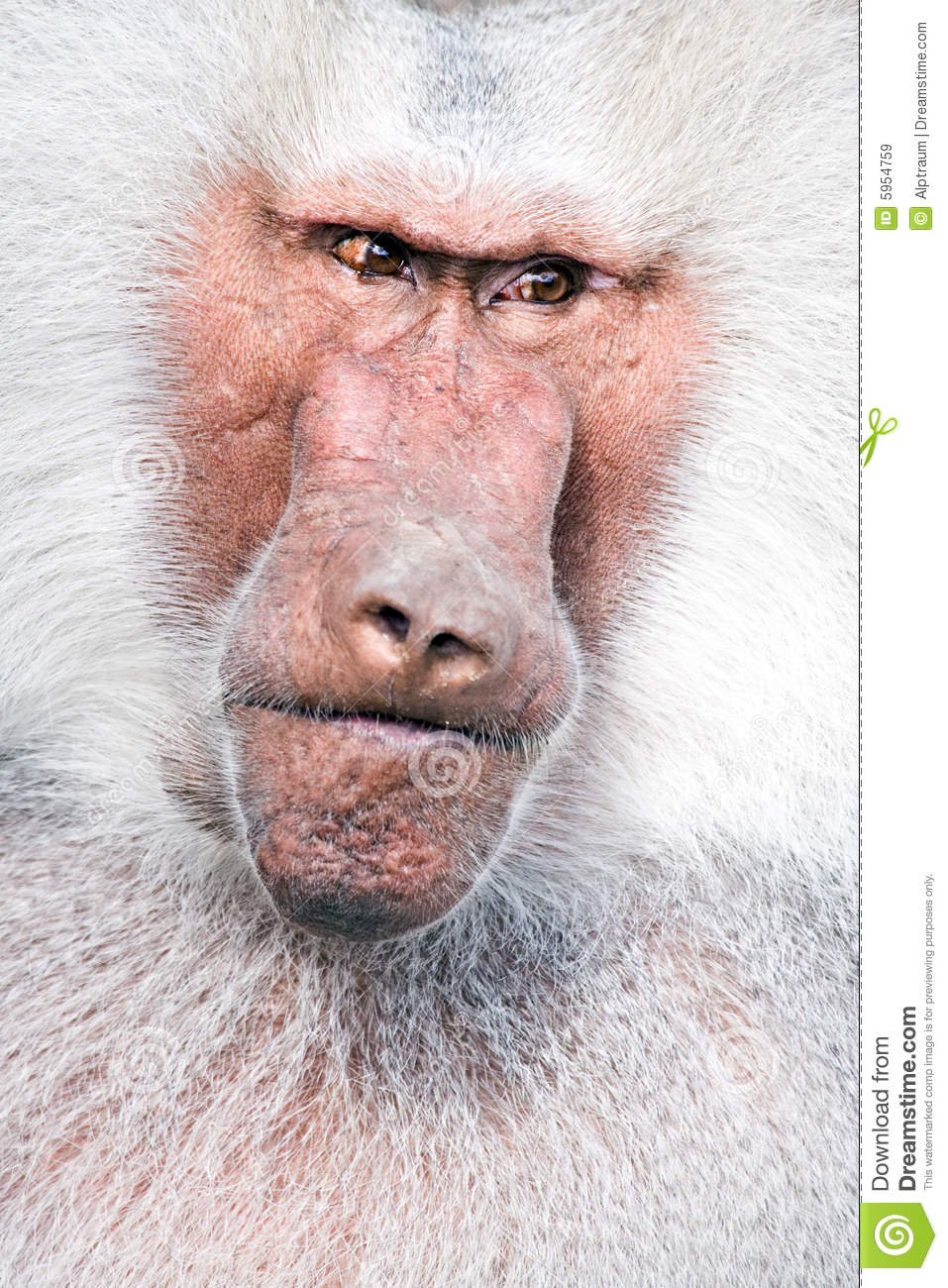 Download Baboon portrait stock image. Image of threat, angry, menacing - 5954759