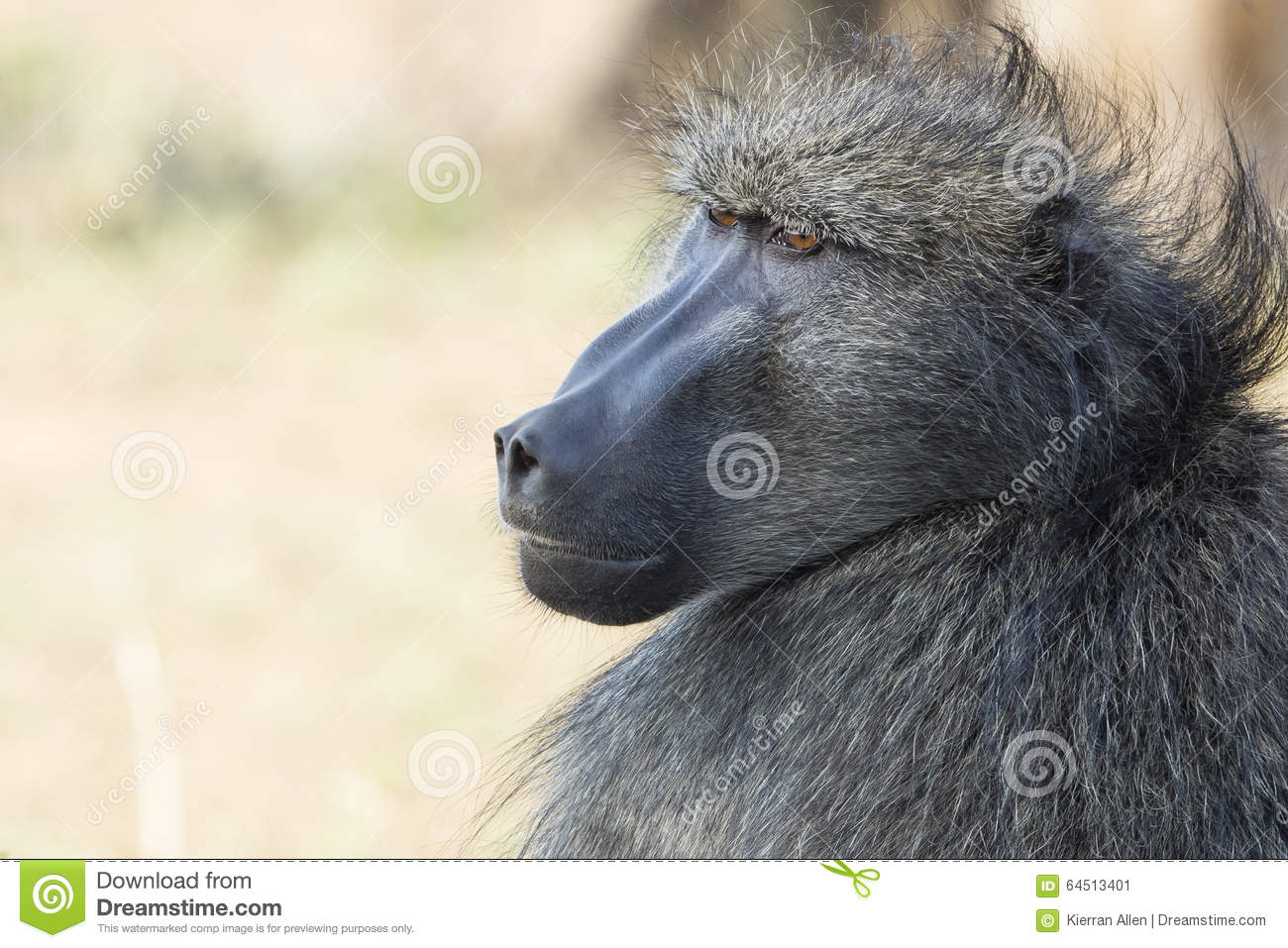Baboon portrait South Africa