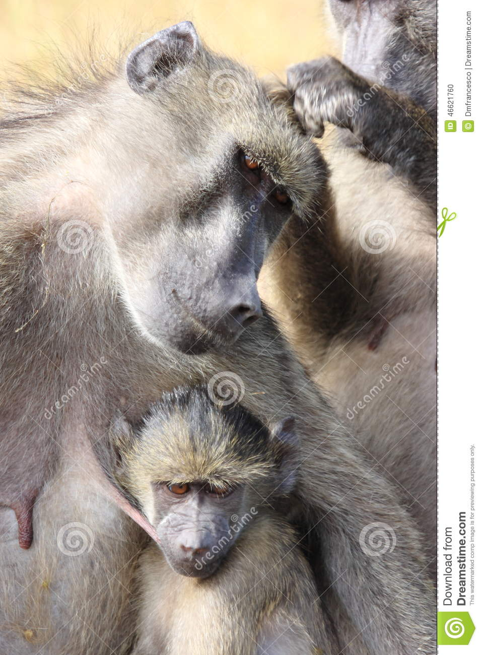 Baboon south africa