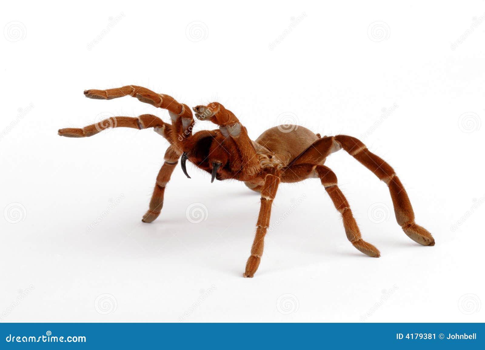 Baboon tarantula βασιλιάδων crawshayi citharischius