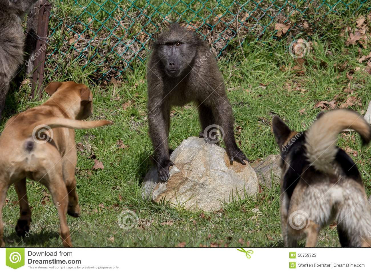 Baboon Threatened By Dogs Stock Image Image Of Wild 50759725
