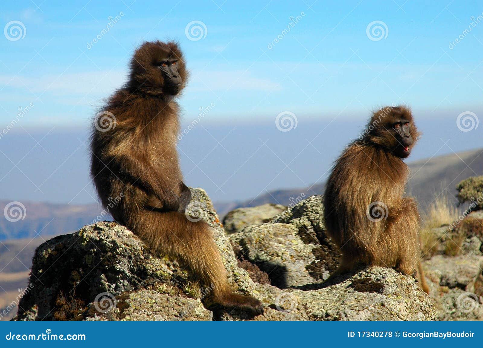 Baboonsgelada