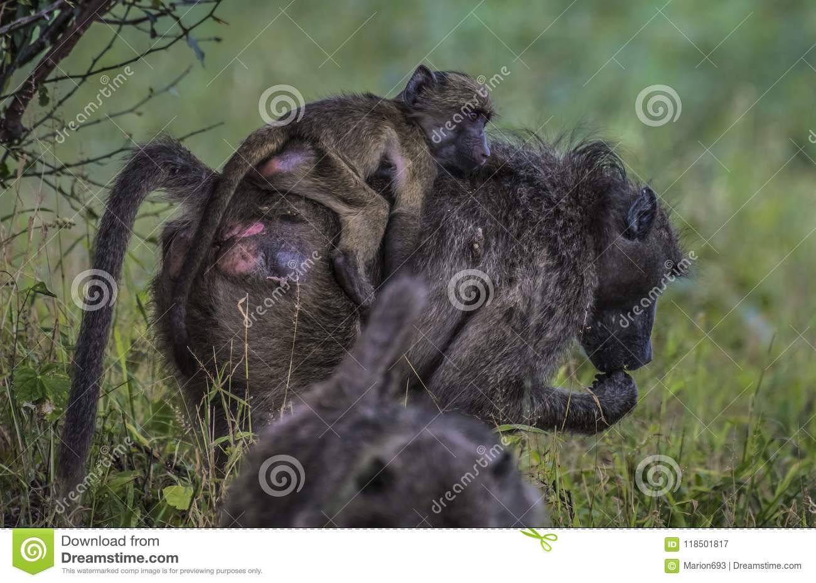 Babouin, désambiguisation, mangeant des graines de la terre