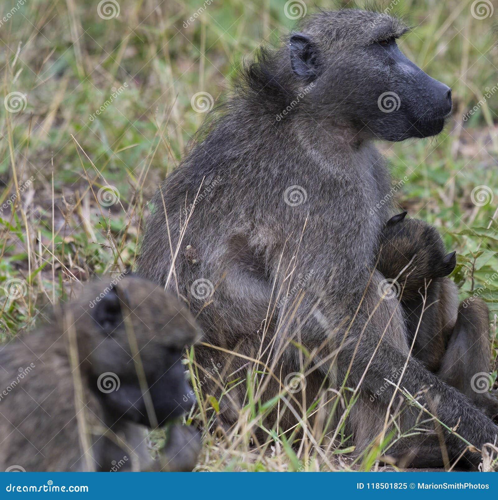 Babouin, désambiguisation, se reposant sur la terre et tenant le bébé