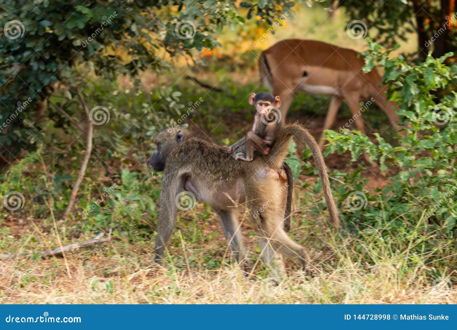 Babouin de bébé rinding le dos de sa maman