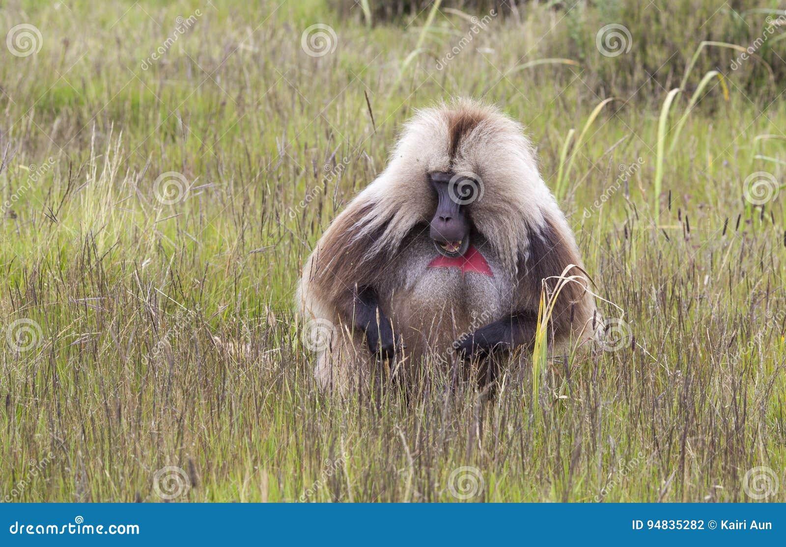 Babouin de Gelada avec de mauvais cheveux en montagnes de Simien, Ethiopie