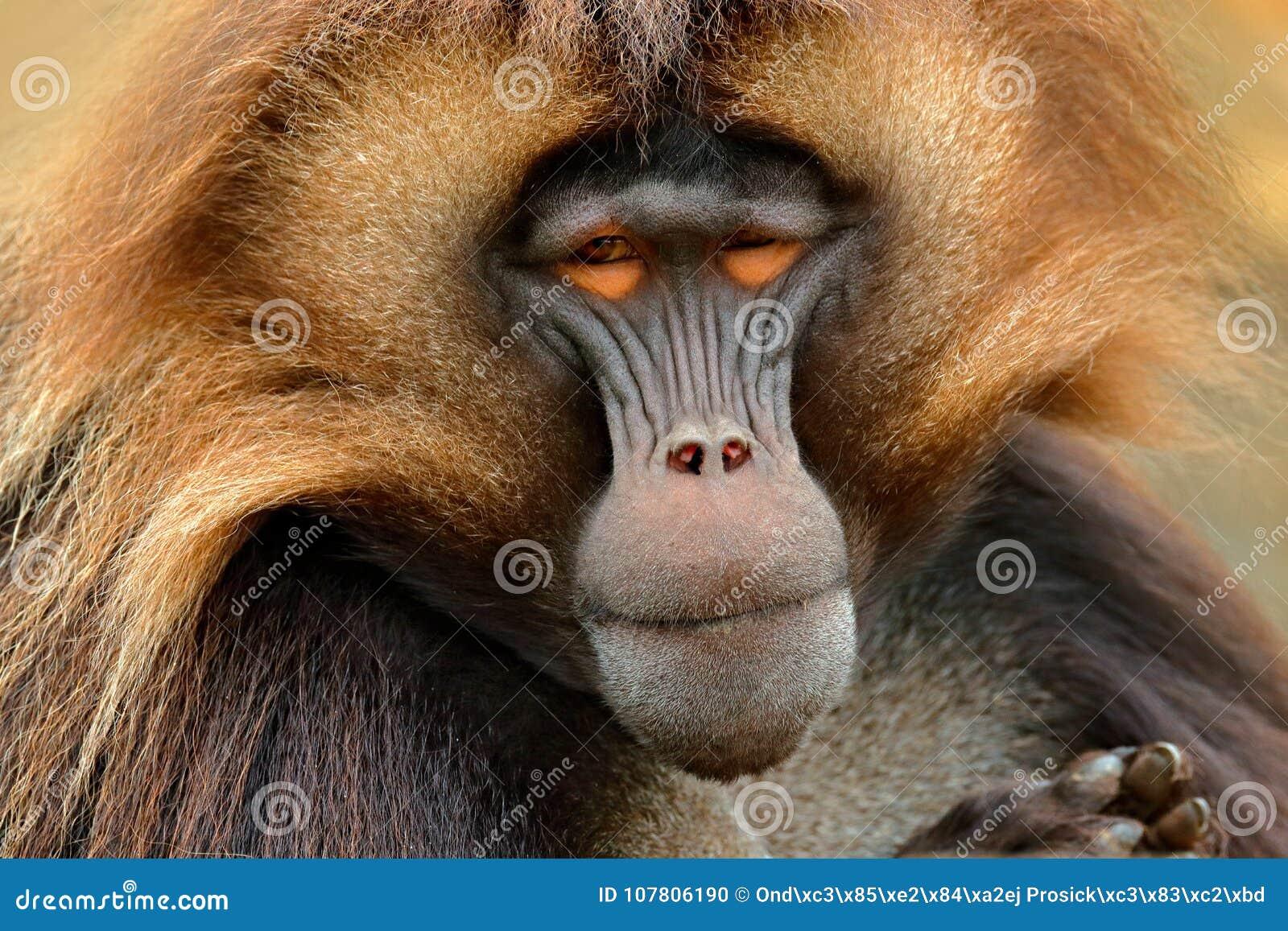 Babouin de Gelada avec le museau ouvert avec des tooths Portrait de singe de montagne africaine Montagne de Simien avec le singe