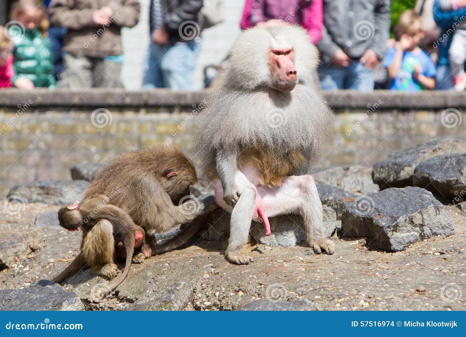 babouin femelle avec un jeune babouin photo stock image 57516974. Black Bedroom Furniture Sets. Home Design Ideas