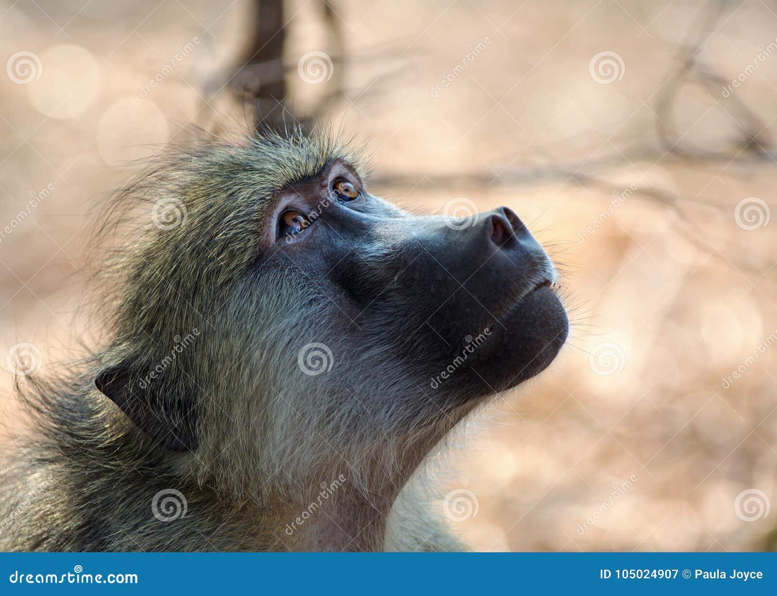 Babuíno de Chacma que olha para cima com os olhos brilhantes e alertas