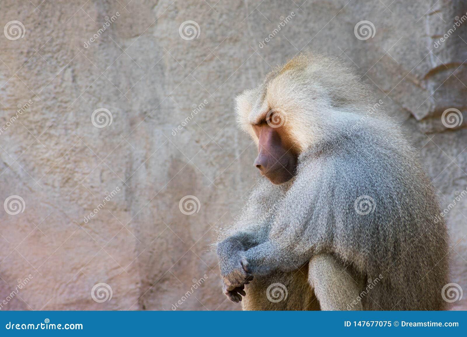 Babuíno que senta-se no silêncio em um dia ensolarado | preY~er