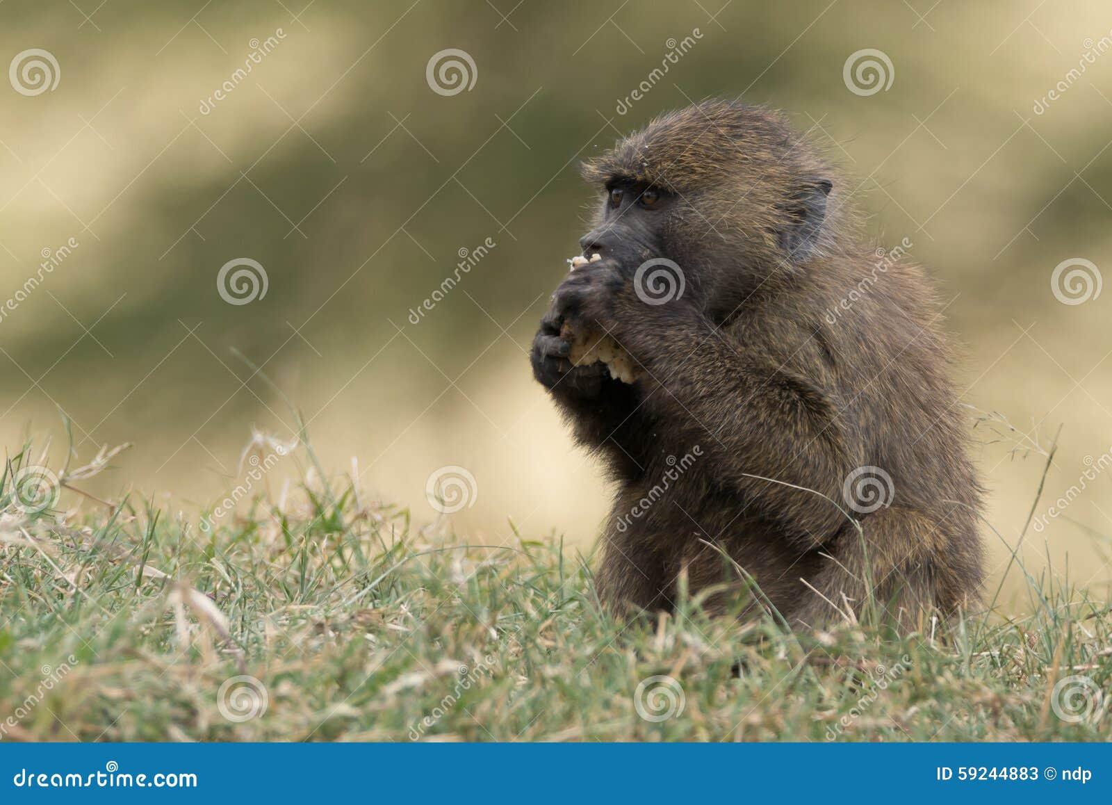 Download Babuino Del Bebé En La Hierba Que Come Con Las Patas Imagen de archivo - Imagen de bebé, hierba: 59244883
