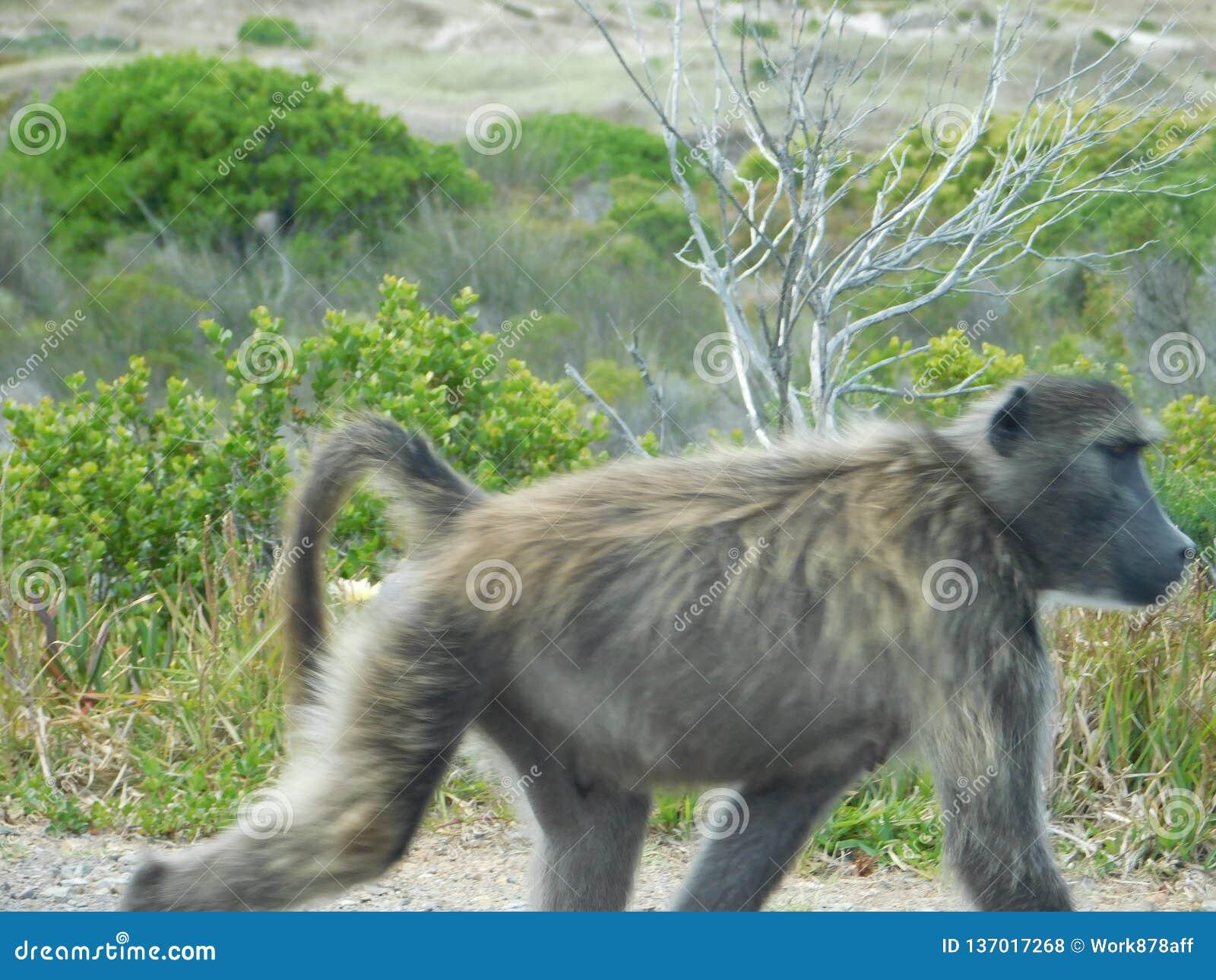 Babuino en la selva del vagabundeo