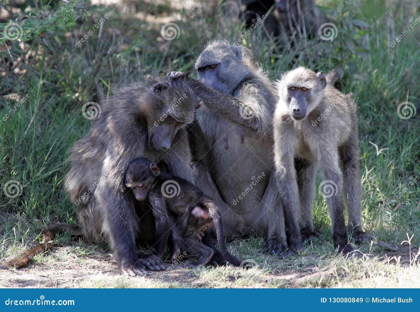 Babuinos en Suráfrica