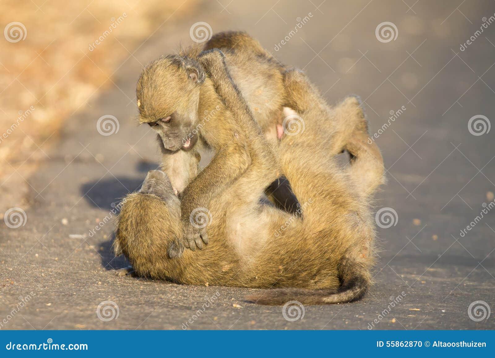 Babuinos jovenes que juegan en una última hora de la tarde del camino antes de volver