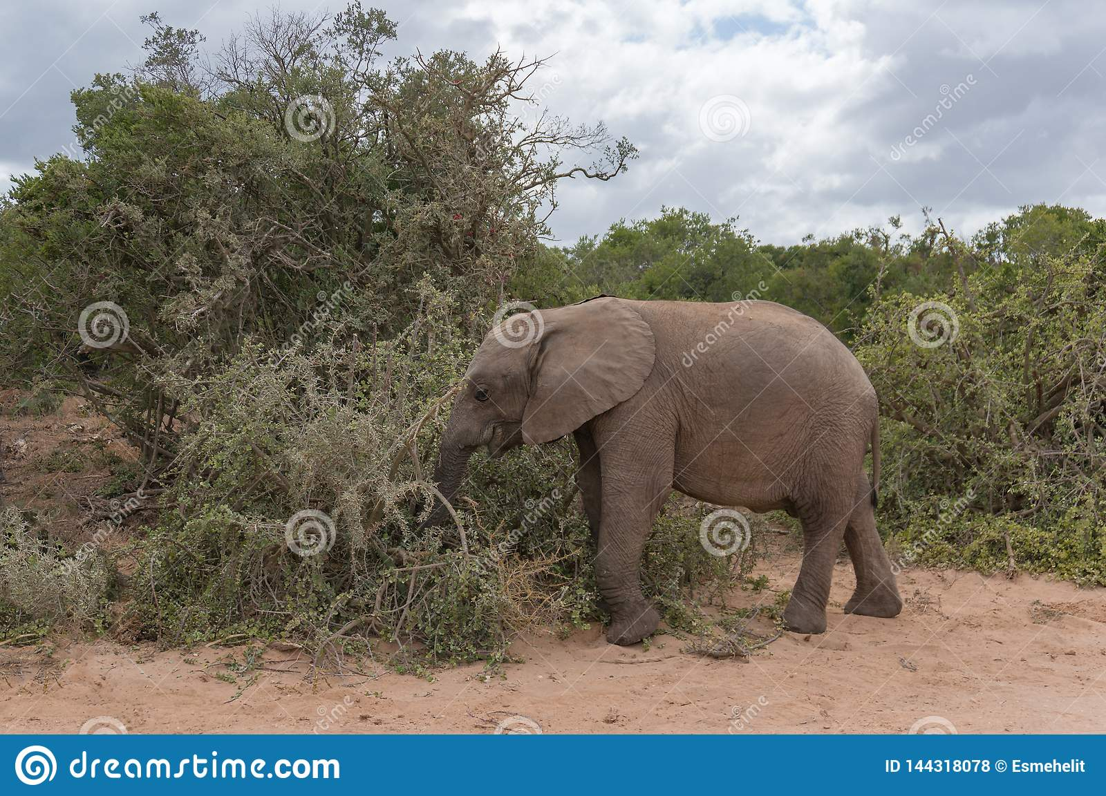 Baby African Elephant Eating The Bush In Africa Stock ...
