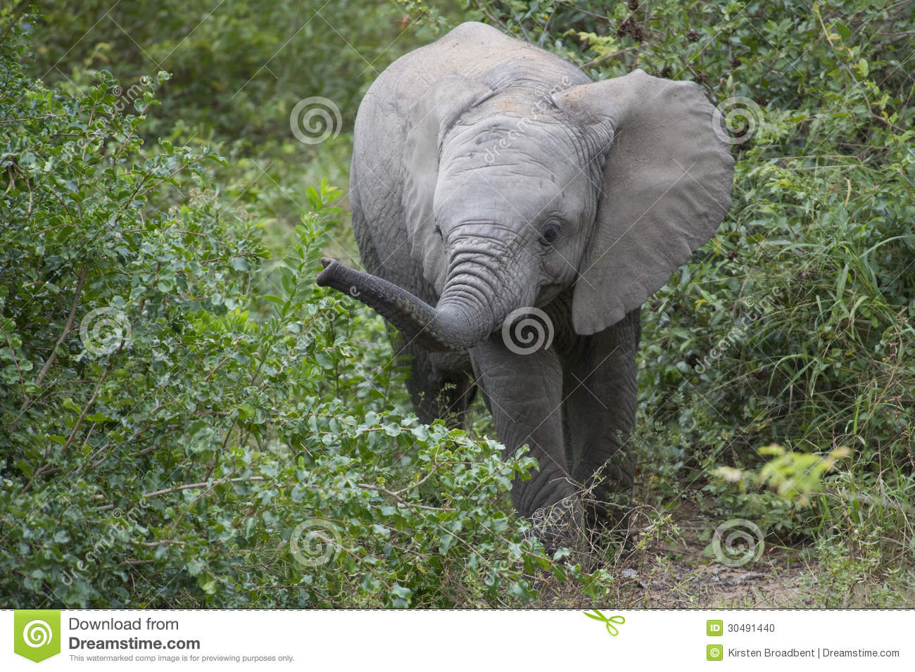 Baby African Elephant In Natural Habitat Stock Photo ...