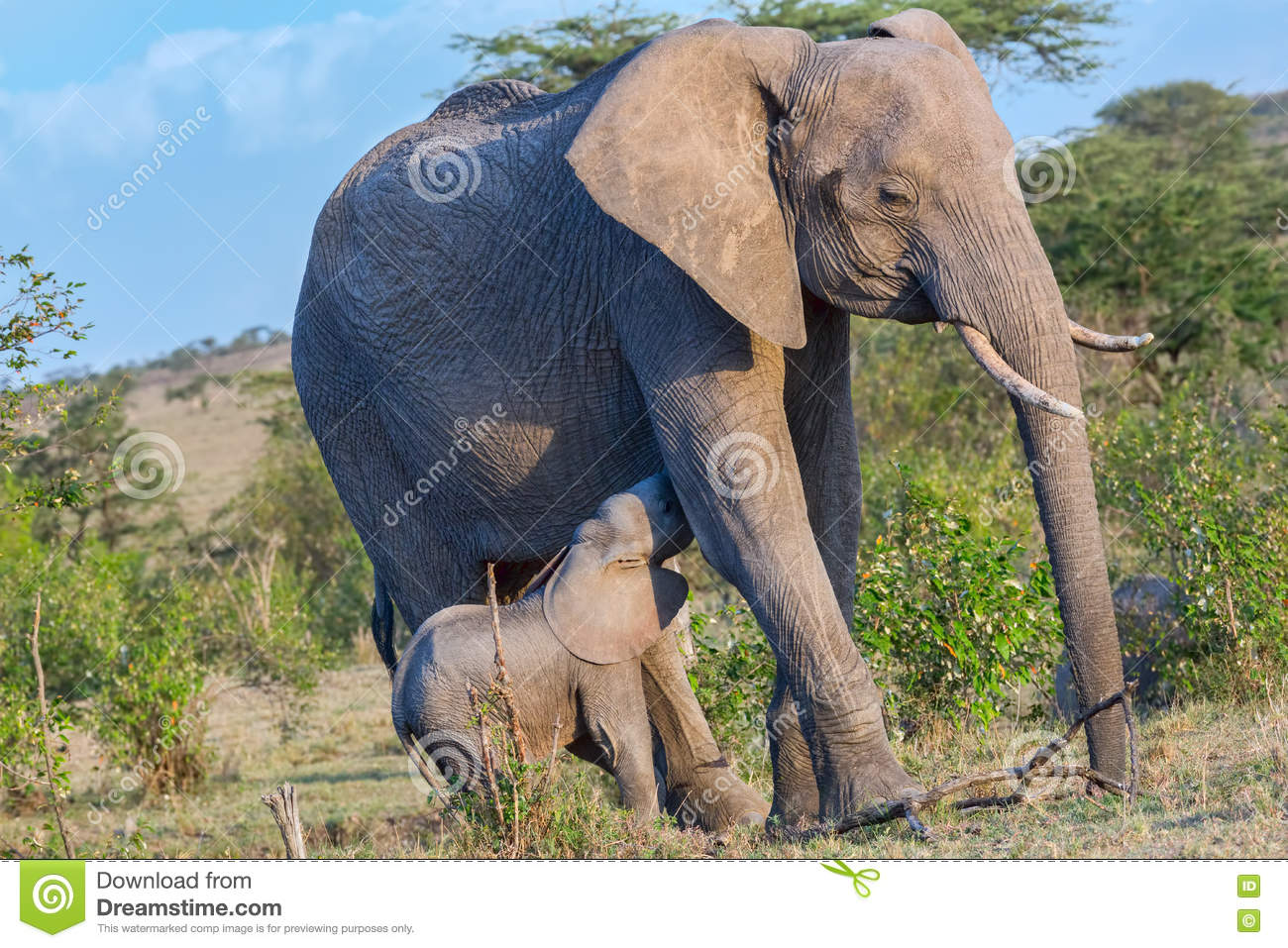 Baby African Elephant Suckling From Mother Stock Image ...
