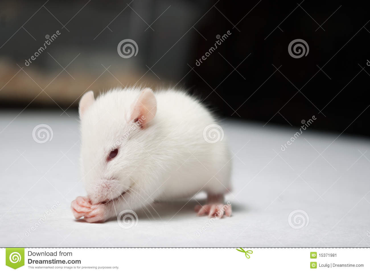 domestic rats essay Pet rats, whether hairless, dumbo, rex, or standard, all need vital supplies for their care and health cages and toys must be healthy & engaging as well as a rat.