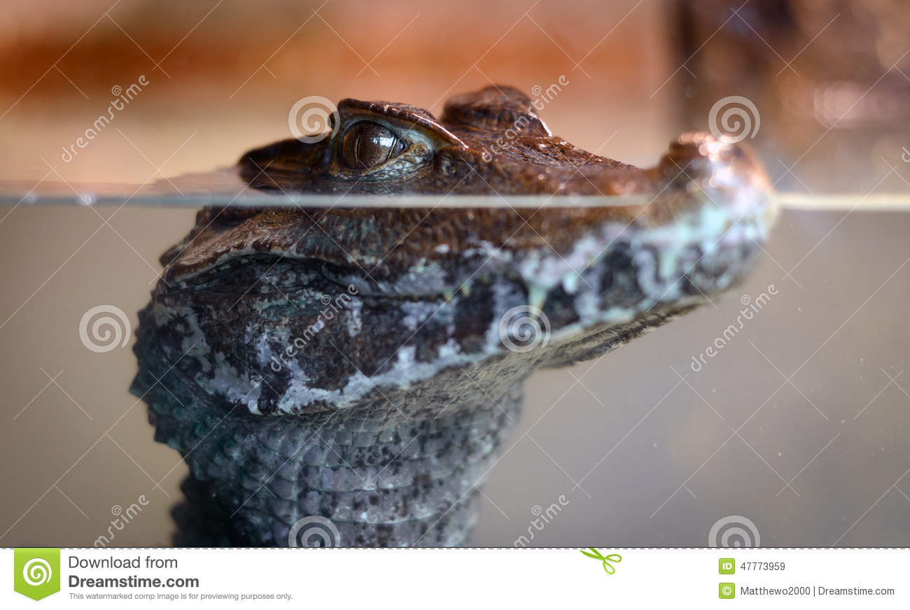 baby alligator under water stock image  image of looking