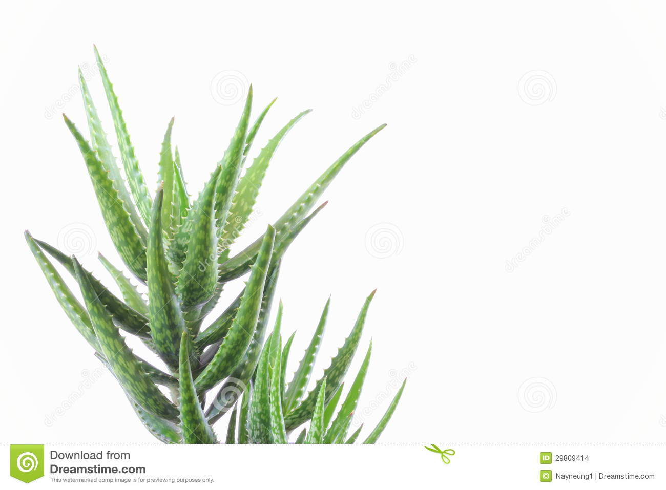aloe vera plant isolated on white stock images image 29809414. Black Bedroom Furniture Sets. Home Design Ideas