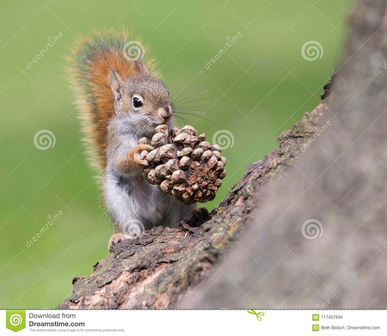 Baby American Red Squirrel With Pinecone