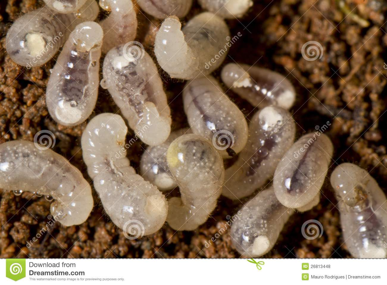 Baby Ant Larva Royalty Free Stock Photos - Image: 26813448