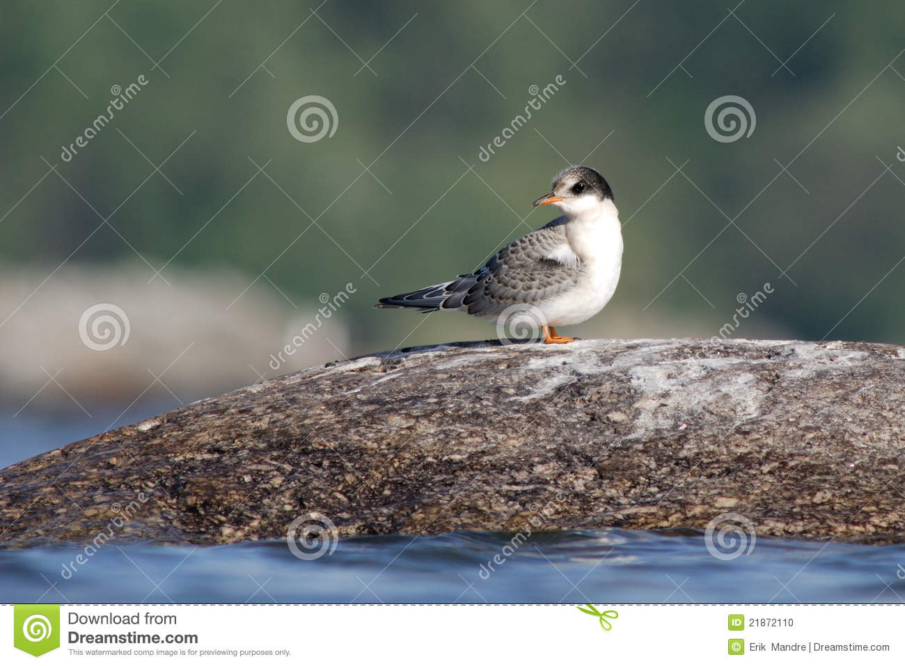 Baby Arctic Tern stock photo. Image of nature, tern ...