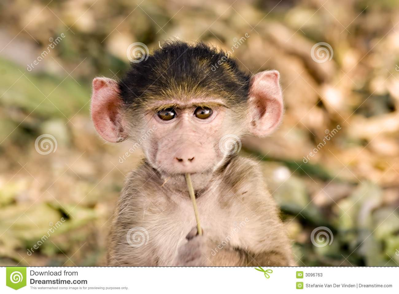 Baby Baboon Stock Photos - Image: 3096763