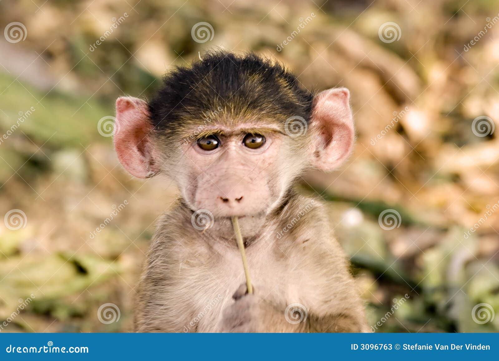 mandrill baboon baby