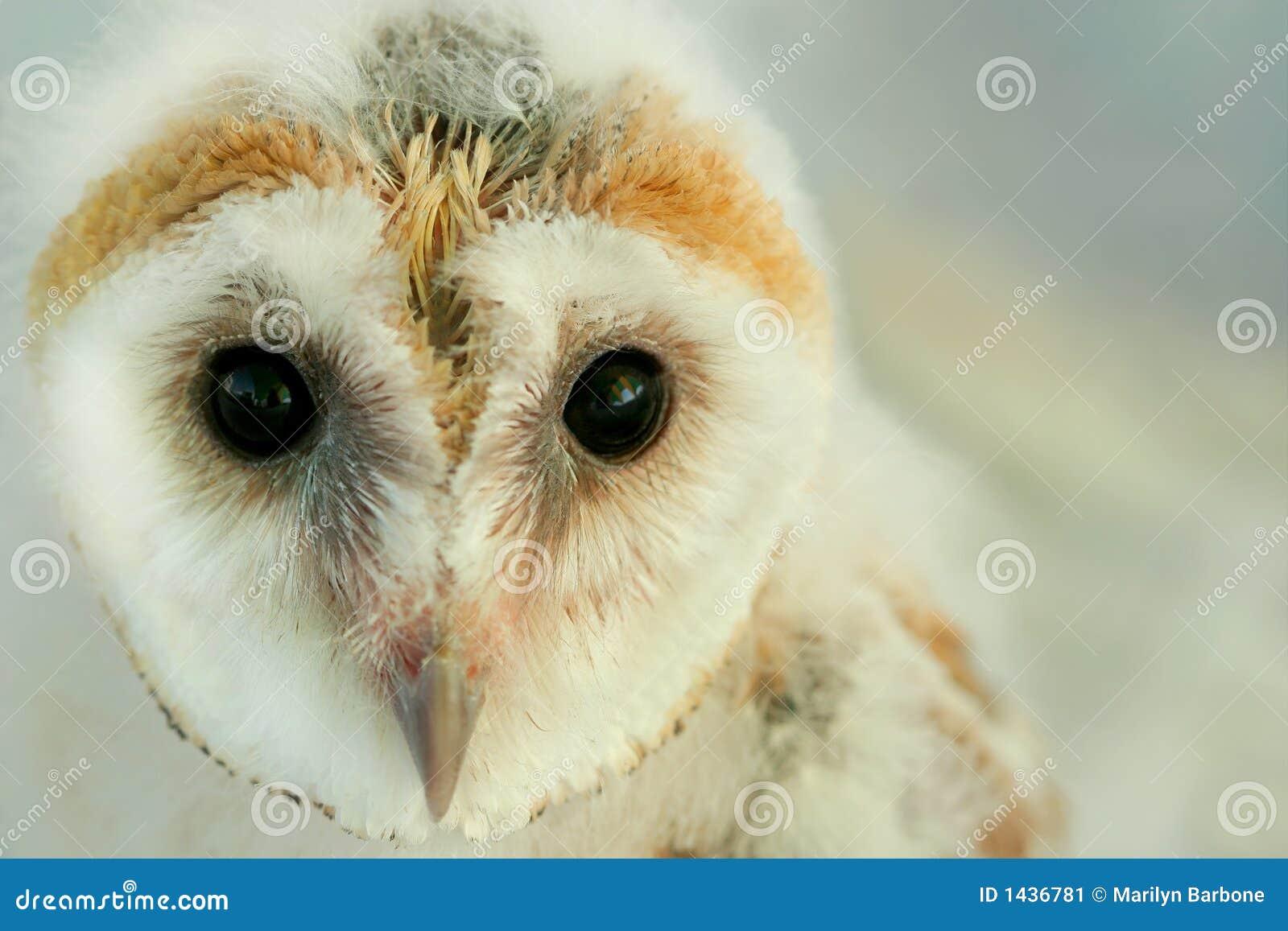 Baby Barn Owl stock image. Image of endangered, born ...