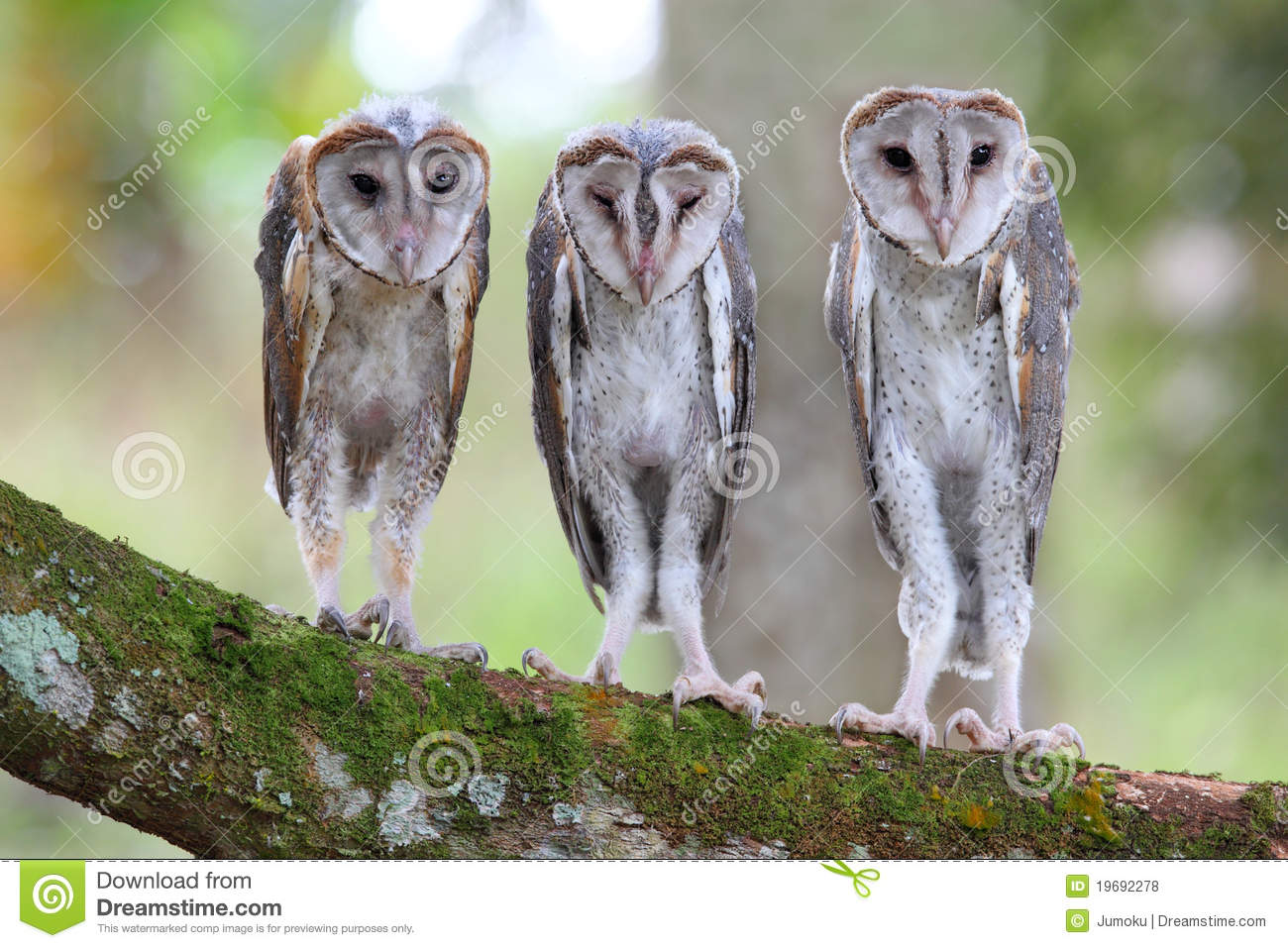 Baby Barn Owl Royalty Free Stock Photos Image 19692278