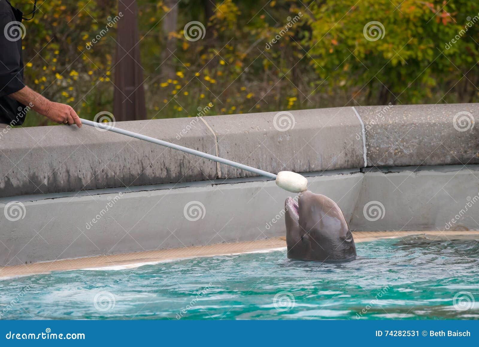Baby Beluga Training at Marineland Canada