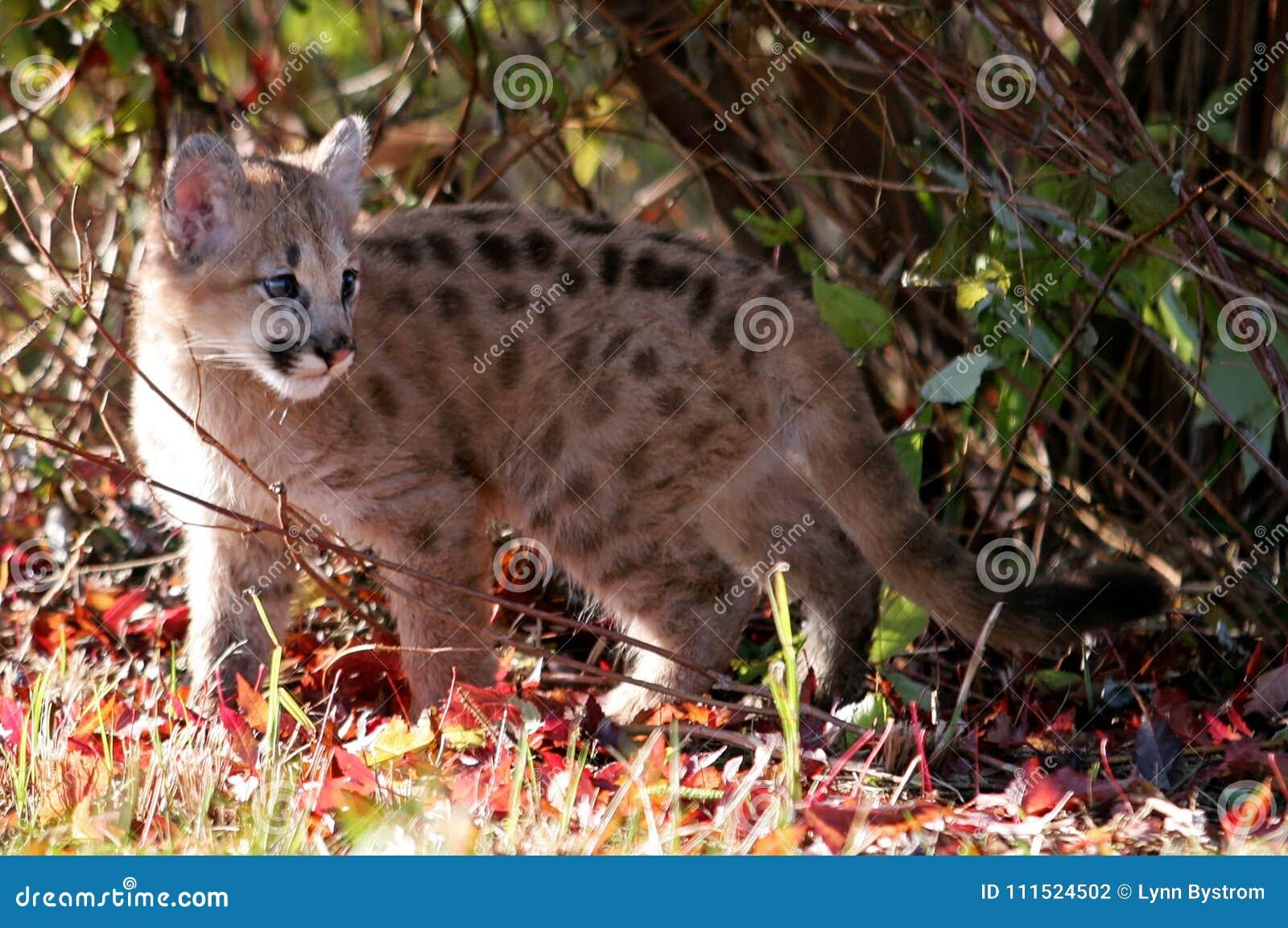 Baby Cougar, Mountain Lion, Or Puma Stock Photo - Image of feline