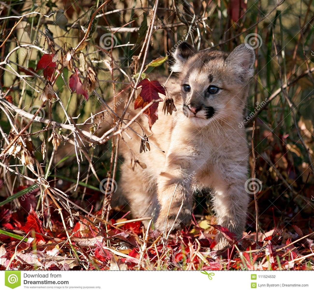 Baby Cougar, Mountain Lion, Or Puma Stock Photo - Image of nature