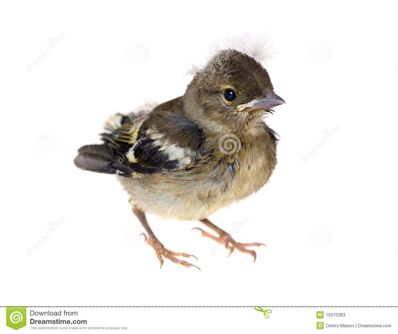 Baby Bird Of A Chaffinch Stock Photos Image 15075383