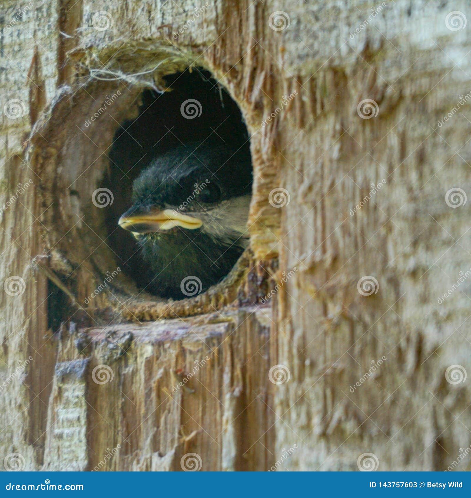 Baby bird peeking from the nest