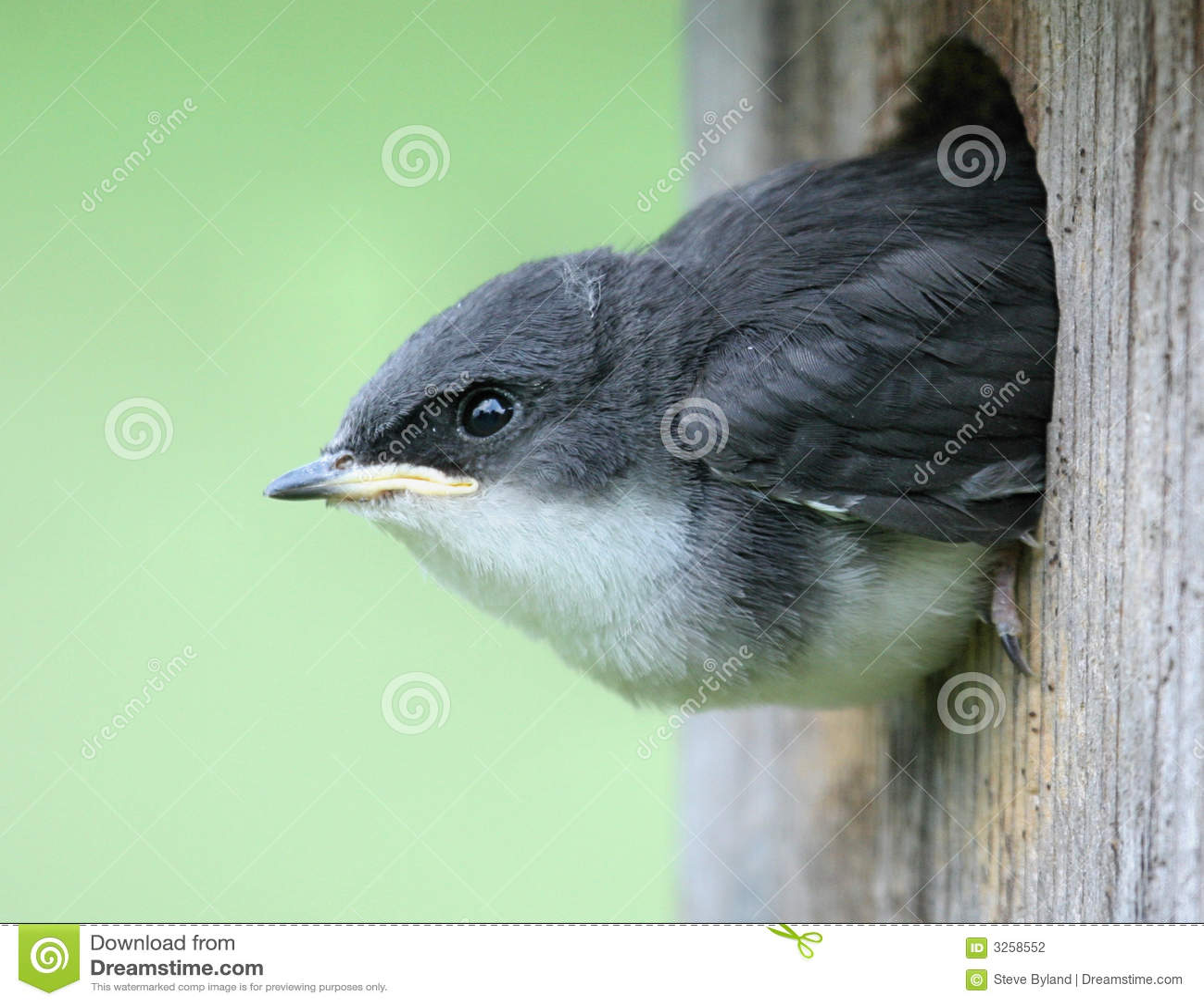 Baby Bird - Tree Swallow