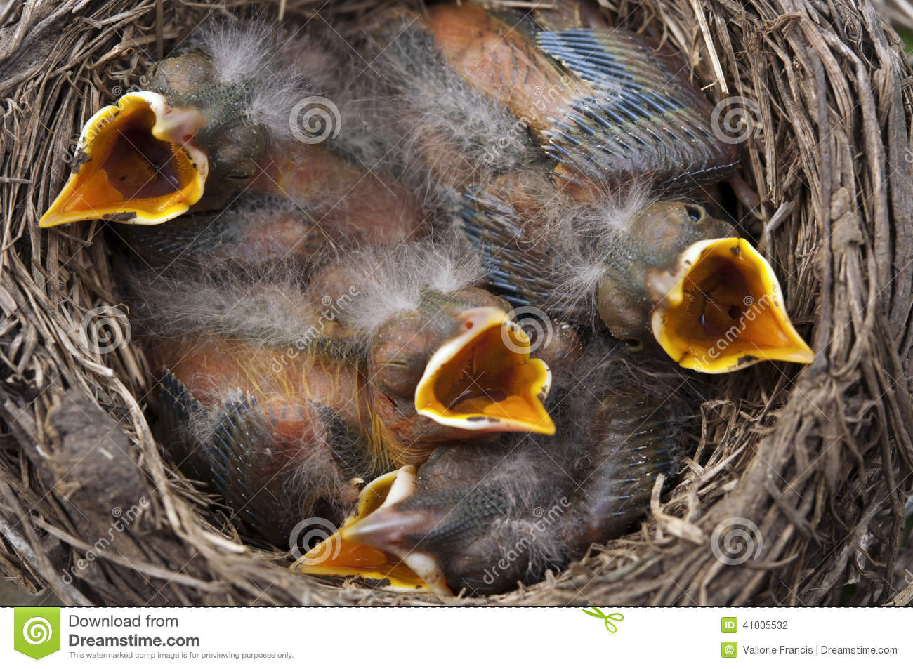 Baby birds all open mouths